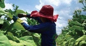 Gerardo Morales autoriza a las tabacaleras a utilizar trabajo infantil en Jujuy